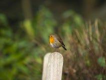 Robin op een post stock afbeeldingen