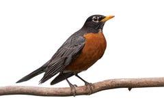 Robin op een tak Stock Fotografie