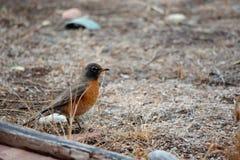 Robin op Gebied Royalty-vrije Stock Afbeeldingen