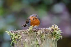 Robin op mos behandelde post stock afbeelding