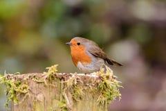 Robin op mos behandelde post royalty-vrije stock afbeelding