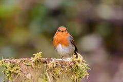 Robin op mos behandelde post royalty-vrije stock foto's