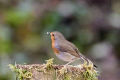 Robin op mos behandelde post royalty-vrije stock afbeeldingen