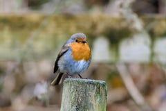 Robin op Omheining Post royalty-vrije stock foto