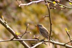 Robin op tak Stock Foto