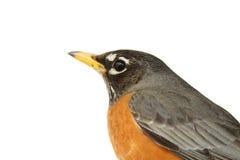 Robin op wit Royalty-vrije Stock Afbeeldingen