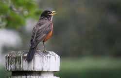 Robin-open beak fence post Royalty Free Stock Photo