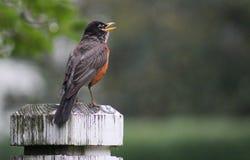 Robin-open beak fence post Royalty Free Stock Photo