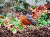 Robin Royalty Free Stock Photo