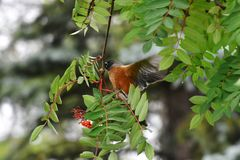 Robin orange et Rowan Berries rouge Images stock