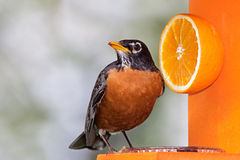 Robin and Orange. Robin sits on an orange feeder next to a delicious orange. He tilts his head sideways enjoying a beak full of grape jelly royalty free stock images