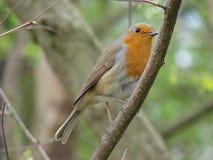 Robin på Treefilial Royaltyfri Foto