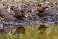 Robin-Paare Stockfotografie