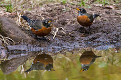 Robin pair stock photography
