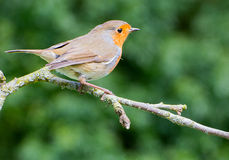 Robin perched on apple tree branch Stock Photography