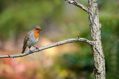 Robin Perched on a Branch Royalty Free Stock Photography