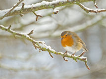 Robin perched on the branch of an apple tree. Stock Photo
