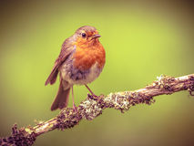 Robin perched on a branch in retrolook Stock Photos