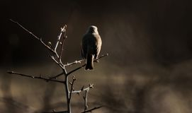 Robin perched on a bush. Robin at sunset perched on a small tree Stock Image