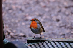 Robin perched on decking. Stock Photography