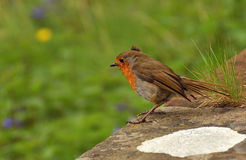 Robin. Perched at edge of lichen-encrusted wall on windy day Royalty Free Stock Photos