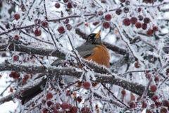 Robin Perched en árbol congelado Imagenes de archivo
