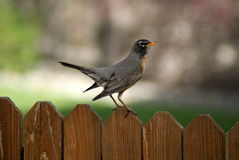 Robin Perched On Fence Stock Photography