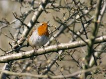 European Robin, Erithacus Rubecula, - Robin Redbreast in spring sunshine royalty free stock photography