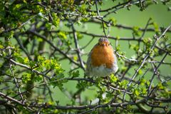 Nosey robin in hedge. A robin perched in a hedge on a branch staring forward at the camera looking into lens surrounded by branches Stock Photo