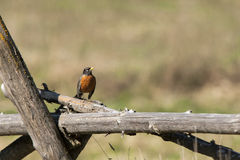 Robin perched on a post. Royalty Free Stock Photo