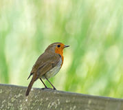 Robin Perched on Seat Stock Photo