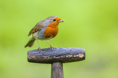Robin perched on a shovel grip Royalty Free Stock Photos