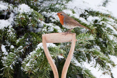 Robin Perched Sideways on Spade Handle. Close up of European Robin perched sideways on fork handle in front of pine tree covered in snow looking to the left stock image