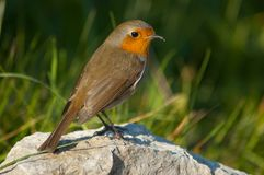 Robin. Perched on a stone Royalty Free Stock Photos