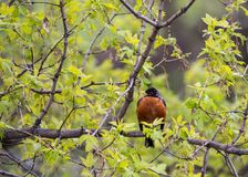 Robin Perched sur la branche d'arbre photos libres de droits