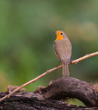 Robin perched on a twig. Stock Photos