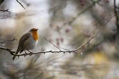 Robin Perched On un arbre avec les baies rouges photos libres de droits