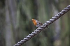 Robin Perched On une corde images libres de droits