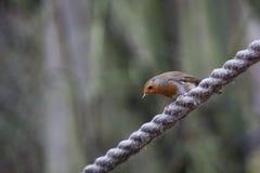 Robin Perched On une longueur de corde épaisse photographie stock