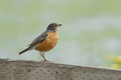 Robin perched on wood fence. Stock Photo
