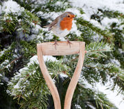 Robin Perched on Wooden Spade Handle. Close up of European Robin perched sideways on spade handle in front of pine tree covered in snow looking to the right stock photography