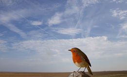 Robin Perching on a post Stock Photos