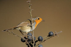 Robin. The picture was taken in Hungary Royalty Free Stock Photo