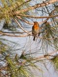 Robin and pine tree Stock Photo