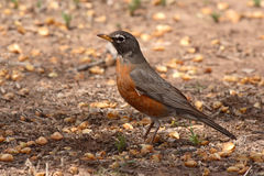 Robin Pointing With Beak. A female American Robin pointing with her beak in New Mexico Stock Image