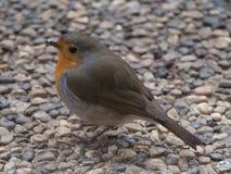 Robin-Portr?t lizenzfreies stockfoto