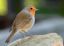 Robin Portrait Royalty Free Stock Photos