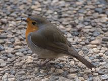 Robin portrait royalty free stock photo