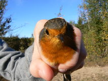 Robin portrait bird held in hand. Catching and ringing birds. Royalty Free Stock Photography
