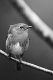 Robin portrait in black and white Royalty Free Stock Photography